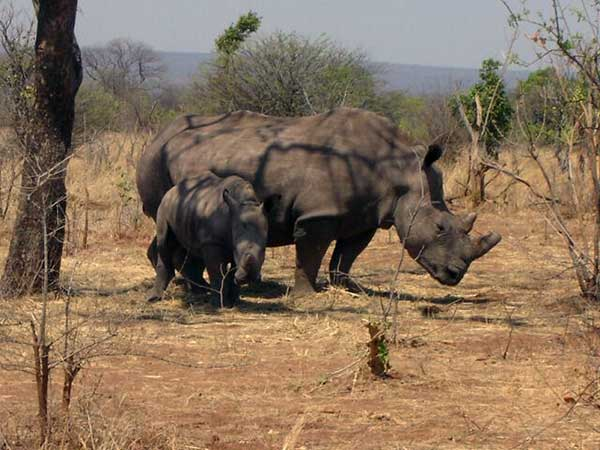 Walking Rhino Safari